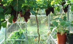 Как вырастить виноградные кусты в теплице