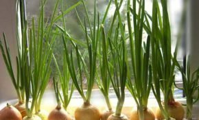 Правила выращивания зеленого лука дома