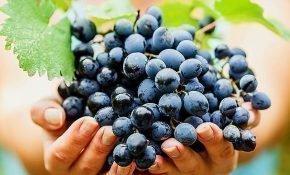 Полезные и вредные свойства винограда