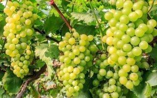 Калорийность и состав зеленого винограда кишмиш