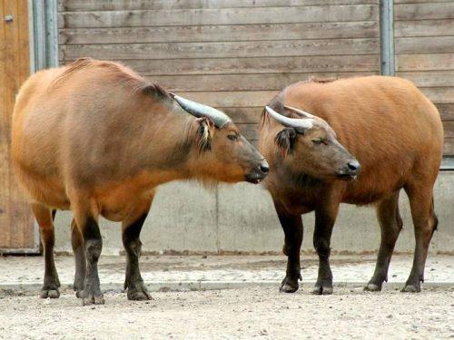 карликовый буйвол