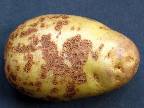 картофель Ризоктониоз