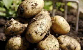 Как вырастить большой урожай картофеля Тулеевский