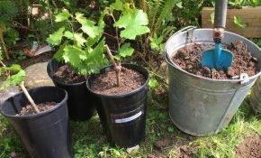Правила посадки саженцев винограда весной