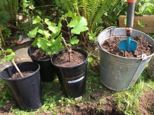 когда сажать саженцы винограда весной