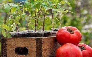 Посадка помидоров в Подмосковном регионе
