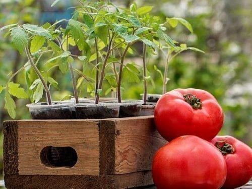 когда высаживать помидоры в подмосковье