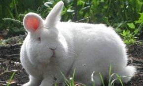 Кролики породы новозеландские белые