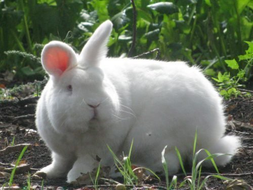 кролики новозеландские белые