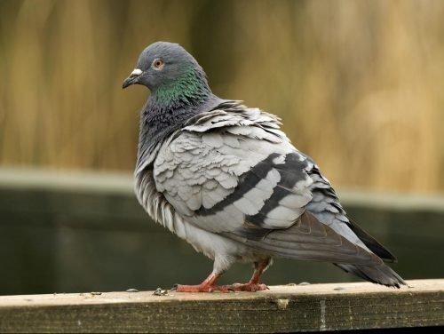 лекарство для голубей от сальмонеллеза