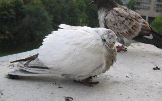 Как вылечить голубей от сальмонеллеза