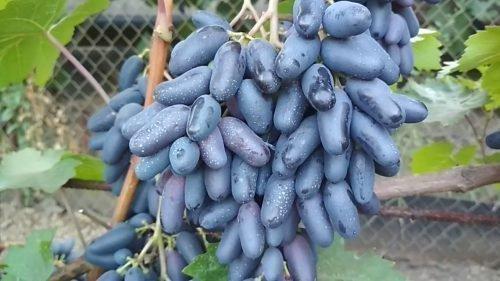 Виноград Сувенирный
