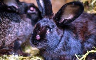 Меры лечения и профилактики миксоматоза у кроликов