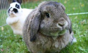 Кролики сколько живут