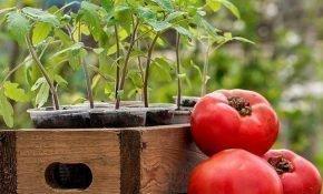 Правила пересадки рассады томатов