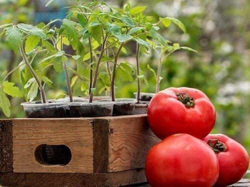 пересадка рассады томатов