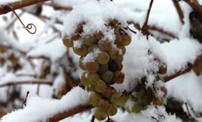 Подготовка к зимовке и утепление винограда