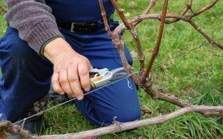 Как обрезать старый виноград