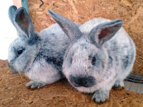 порода кроликов серебро