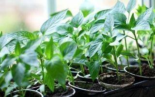 Как вырастить рассаду перца дома