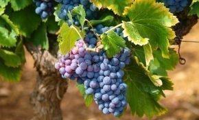 Осенняя посадка винограда