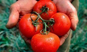 Правила выращивания ранних сортов помидоров