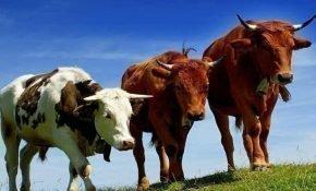 Все о разведении крупного рогатого скота для новичков