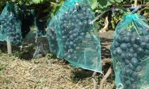 Защитная сетка и еще 5 способов отпугнуть птиц и ос от винограда
