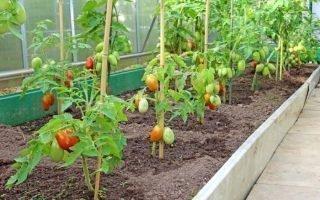 Как подвязать томаты в теплице