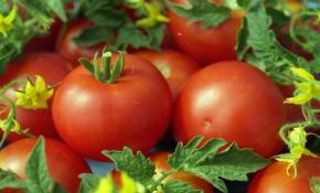 Техника посадки томатов Белый налив