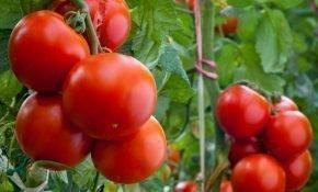 Техника выращивания помидоров Евпатор