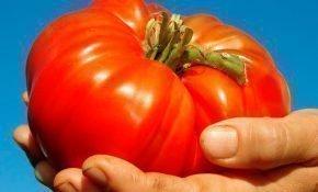 Агротехника для крупноплодных томатов Розовый гигант
