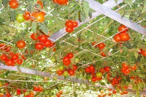 Опоры для томатного дерева