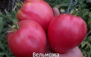 Выращивание томата Вельможа