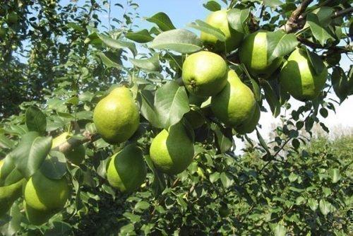Плоды Москвички на ветке