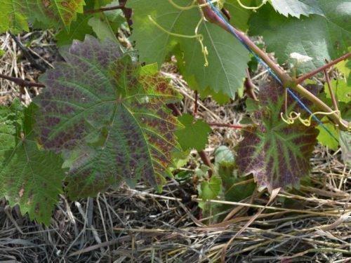 виноград Элементозы