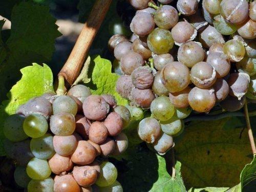 виноград Кислая гниль