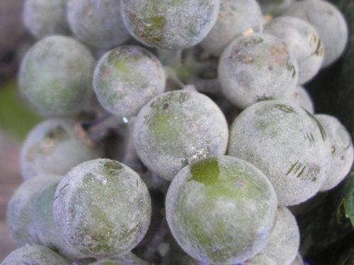 виноград Ложная мучнистая роса