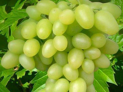 виноград маэстро