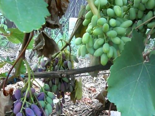 виноград Некрозы