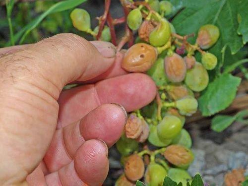 виноград Ожоги