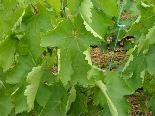 виноград Скручивание листьев