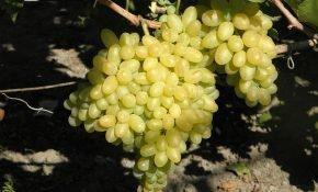 Посадка и выращивание винограда Столетие