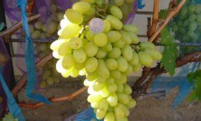 Подарок Запорожью виноград