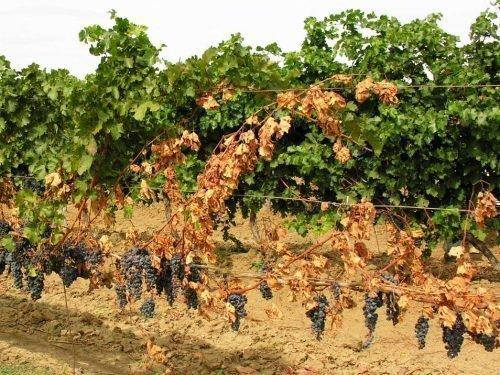 виноград Вертициллез