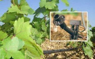 Сроки и схема полива виноградных кустов