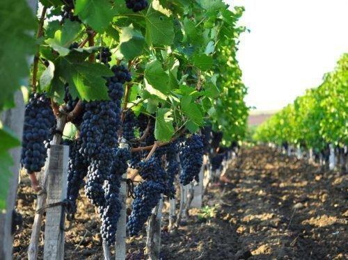время полива винограда
