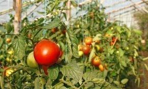 Агротехника выращивания томатов в теплице