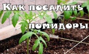 Как правильно высадить помидоры в теплицу