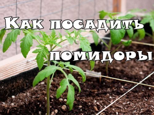 высадка рассады помидор в теплицу